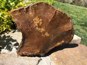 "Natural, rustic tree mushroom preserved with varnish. It measures 10x8 3/4"". Display either side as they are equally interesting. Sweet addition to any shelf or tablescape. Great piece for primitive decorating."